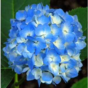 AKTION 5 (fünf!) Hortensien blau