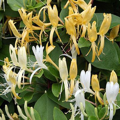 Lonicera japonica ´Halliana´