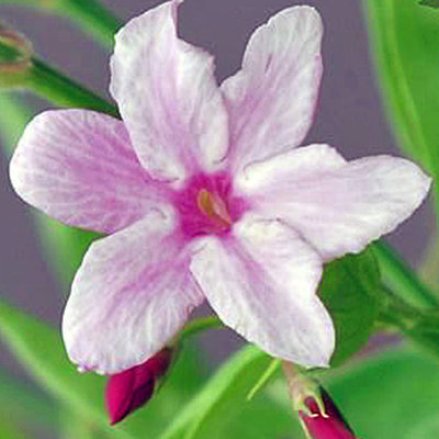 Jasminium stephanense