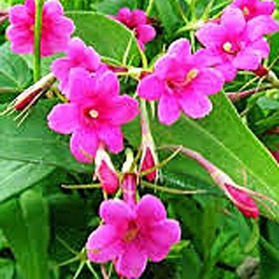 Jasminium beesianum