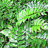 Cyrtomium falcatum