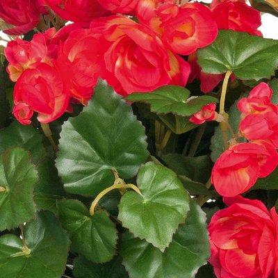 Kunstplant Begonia Donker roze - H 37cm - Terracotta sierpot - Mica Decorations