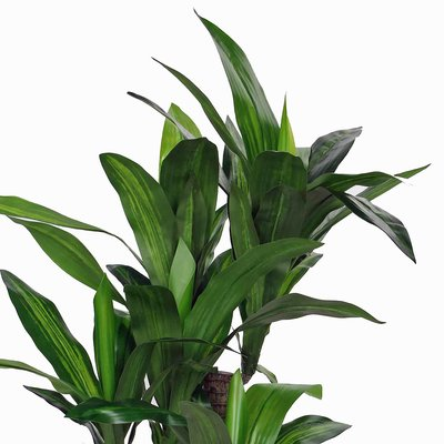 Künstliche Pflanze Dracaena Grün - H 110cm - Kunststofftopf- Mica Decorations