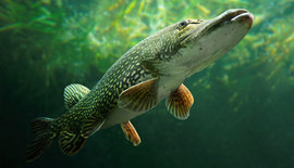 Wintervissen Op Grote Snoek