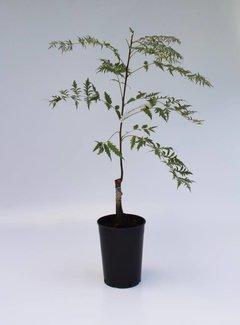 Walnootboom nigra Laciniata
