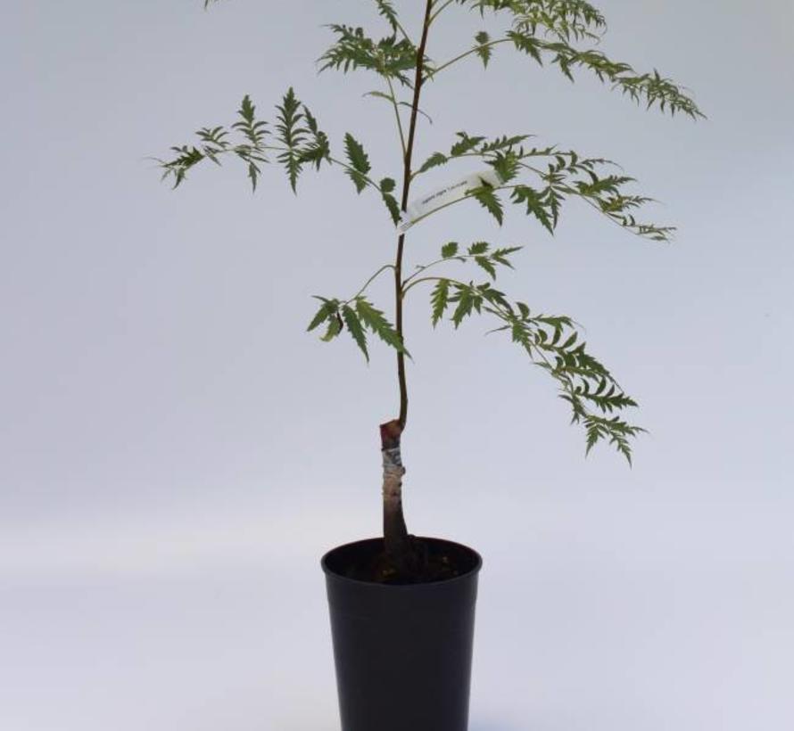 Walnootboom Juglans regia Lacinata