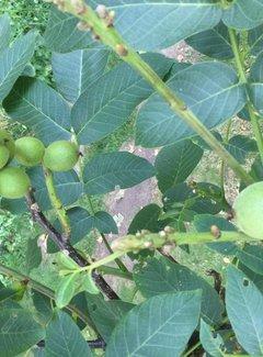 Walnussbaum Mini Multiflora Nr.9
