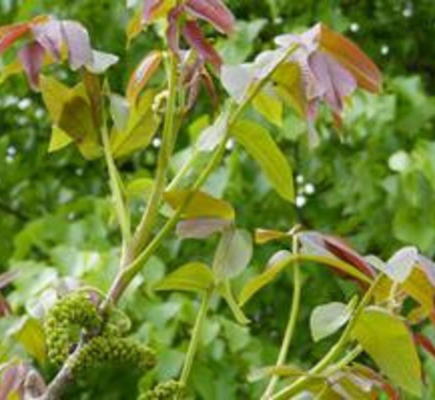 "Walnussbaum Juglans regia 509 (""Rote Mosel walnuss"")"