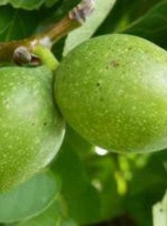 Walnussbaum Mitchell Buartnut