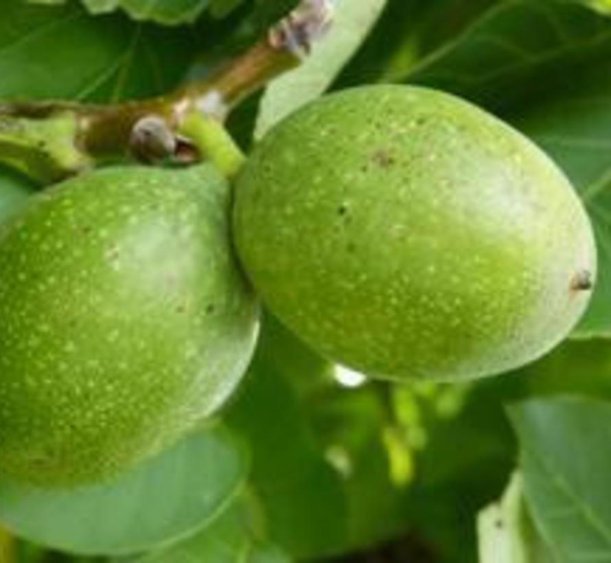 Walnussbaum Juglans ail. cord. Grimo Manchurian
