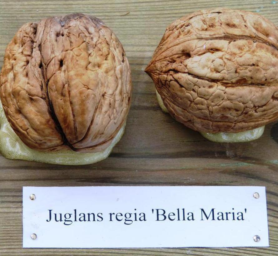 Walnootboom Juglans regia Bella Maria