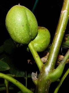 Walnussbaum Jupiter