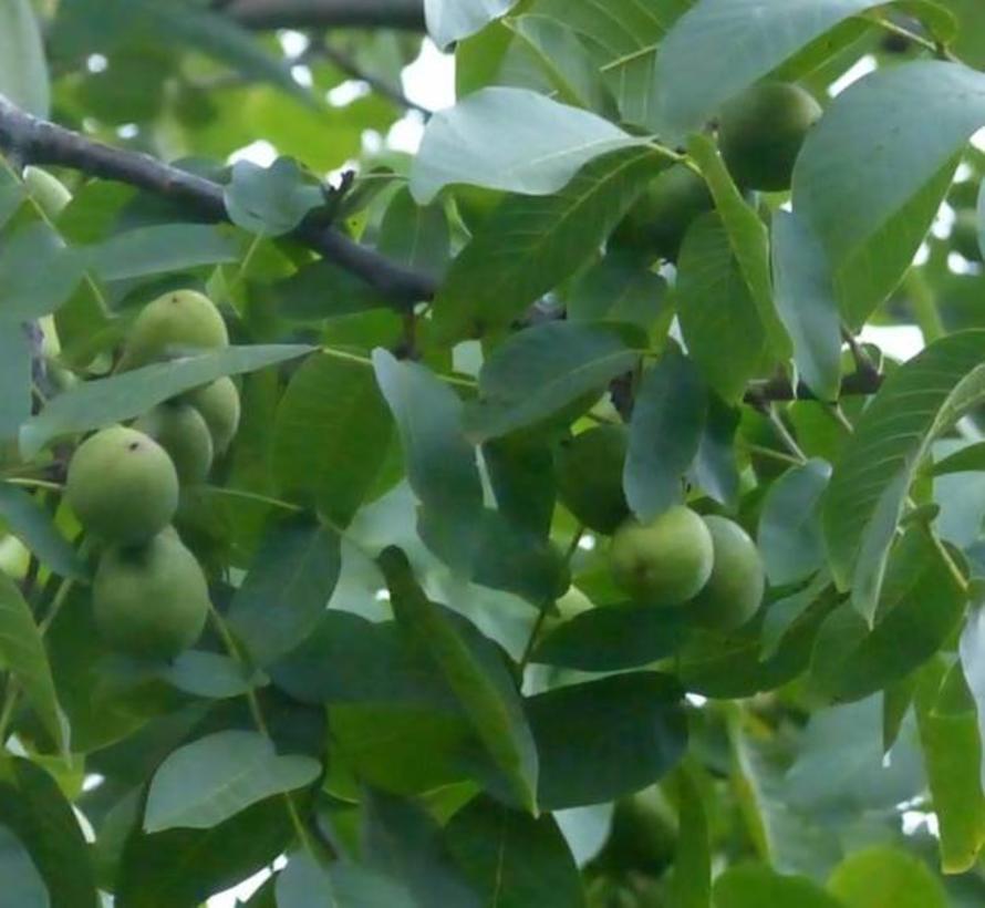 Walnussbaum Juglans regia Amphyon