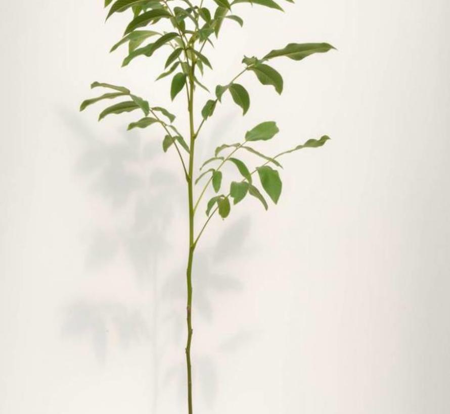 Walnussbaum Juglans regia Axel