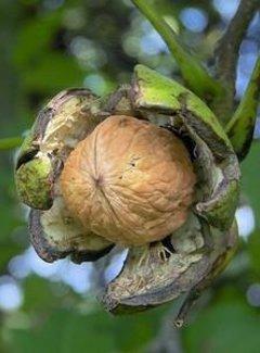 Walnussbaum Buccaneer
