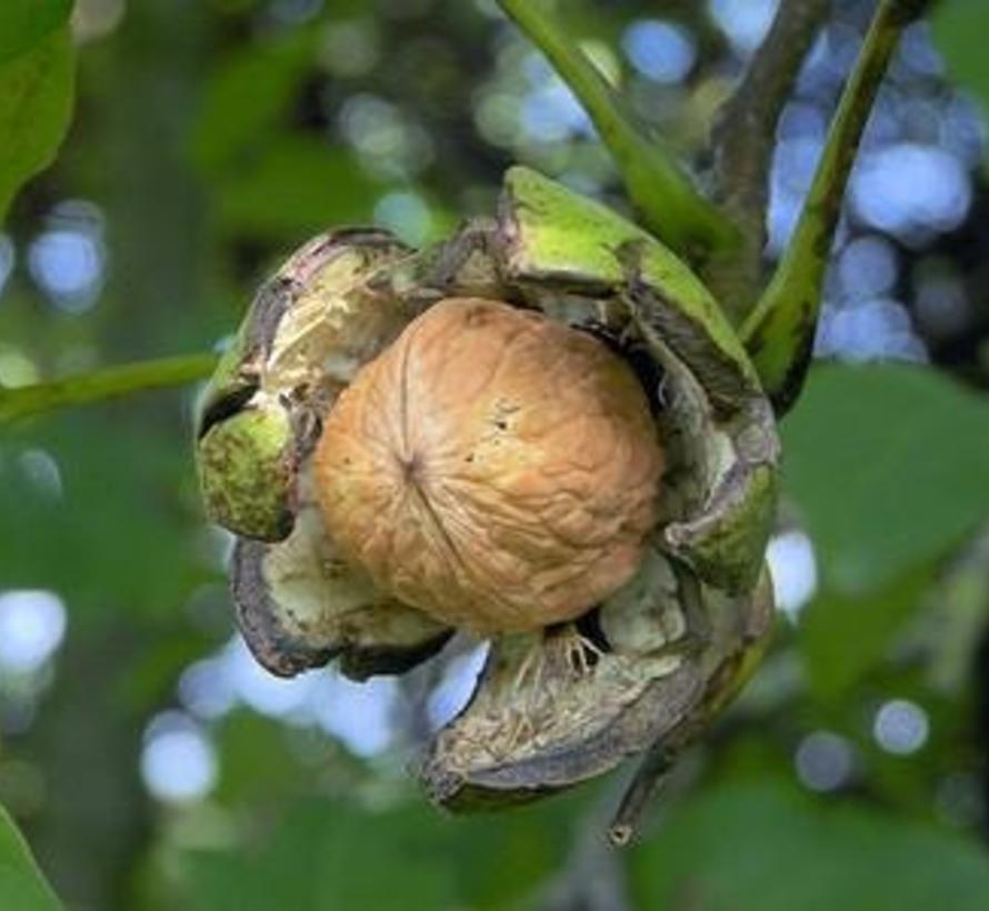 Walnussbaum Juglans regia Buccaneer