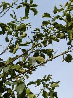 Walnussbaum Franquette
