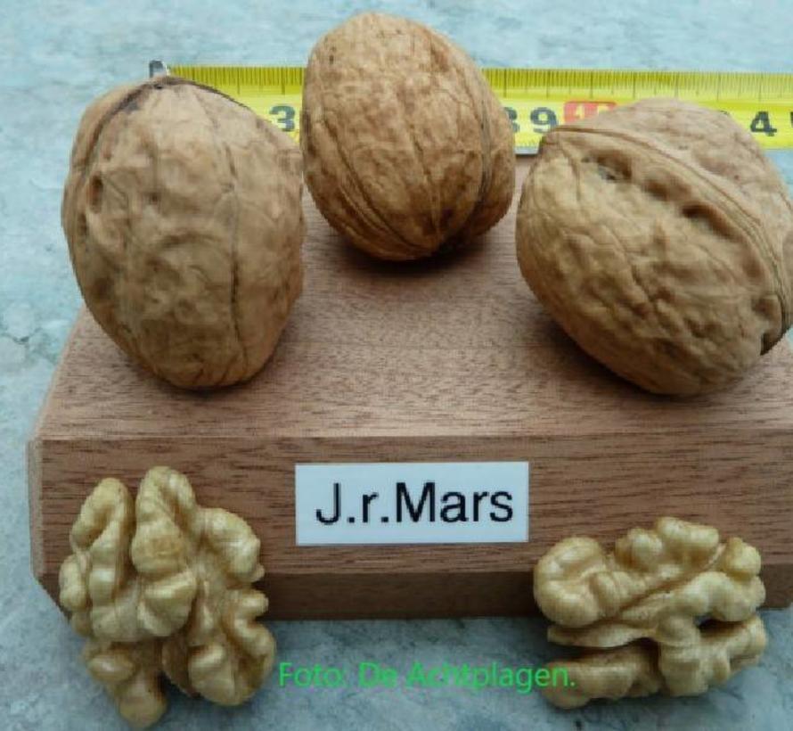 Walnussbaum Juglans regia Mars