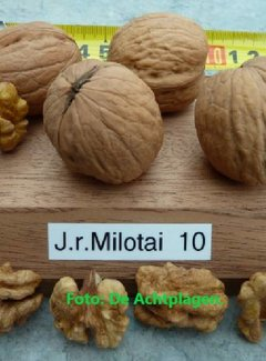 Walnootboom Milotai 10