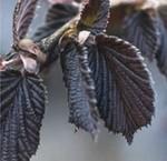 Zier-Haselnussbäume