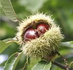 Kastanienbäume mit Früchten