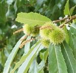 Zier-Kastanienbäume