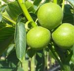 Grootvruchtige notenbomen