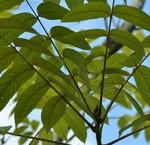 Hartnoot notenbomen
