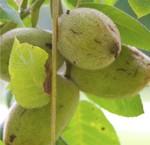 Butternuss Nussbäume