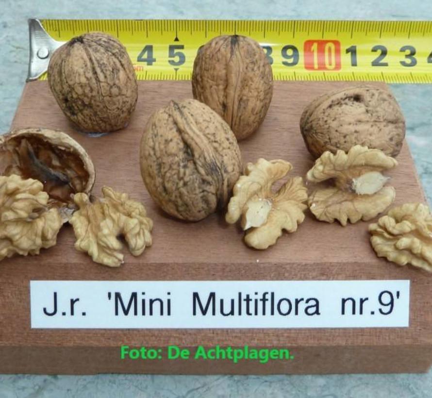 Walnootboom Juglans regia Mini Multiflora Nr.9