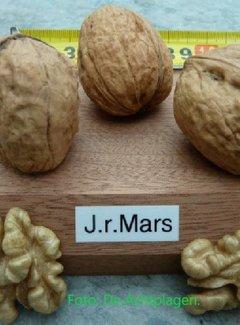 Walnussbaum Mars