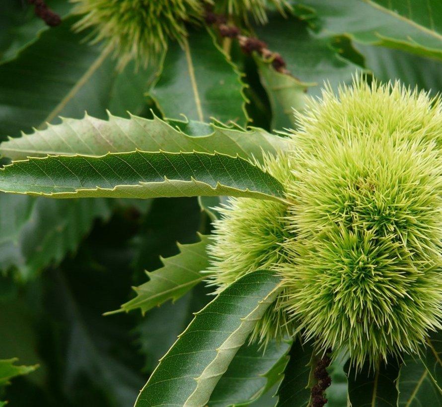 Kastanienbaum Castanea sativa Précoce des Vans