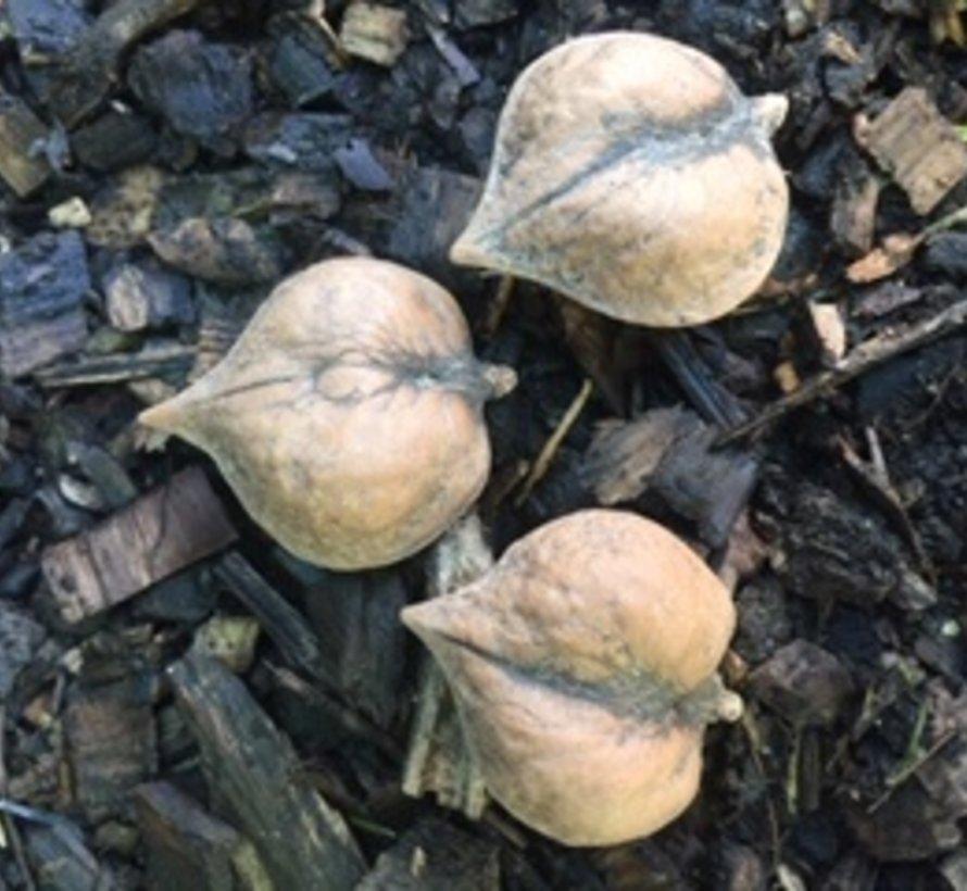 Notenboom Juglans ail. cord. Kalmar