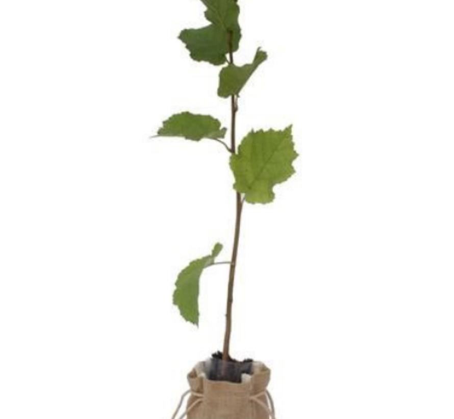 Hazelaarboom Corylus avellana 'Theta'