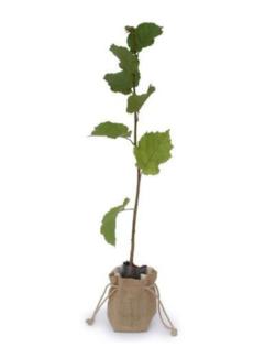 Hazelaarboom Corylus avellana 'Gamma'