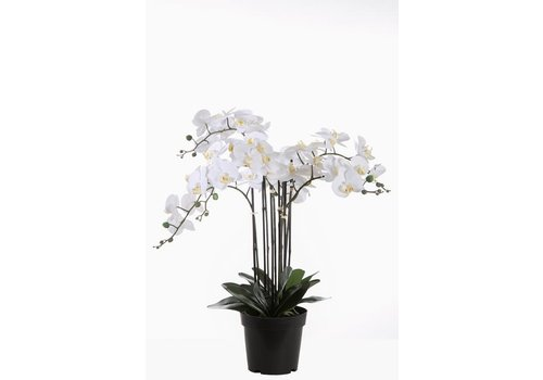 COLOURS AND GREEN ORCHID X6 IN POT 85 CM