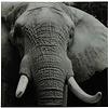 Schilderij olifant A vk Wild life L zwart/wit