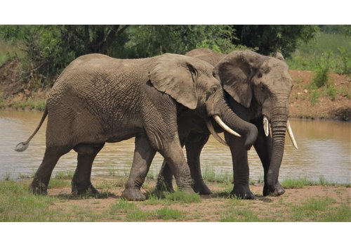 HERMSEN SFEERVOL WONEN Canvas - Olifanten