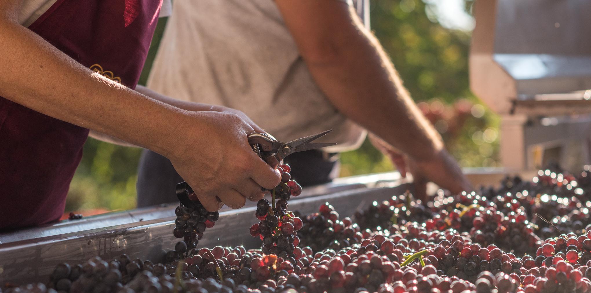 Rizieri druiven