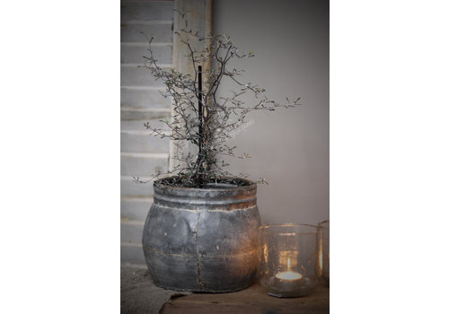 Plant Corokia 20 cm