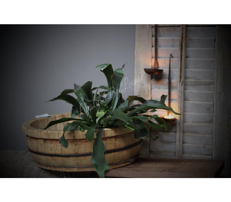 Hersthoorn plant