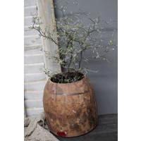 Corokia Maori plant