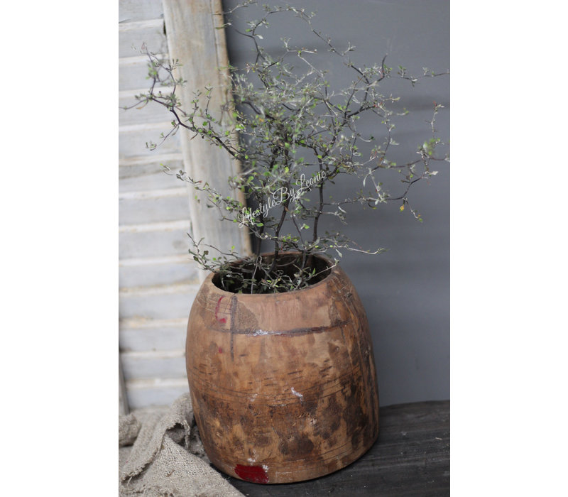 Volle Corokia Maori plant 50 cm