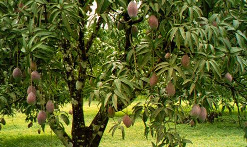 Mangohout, wat is dat precies?