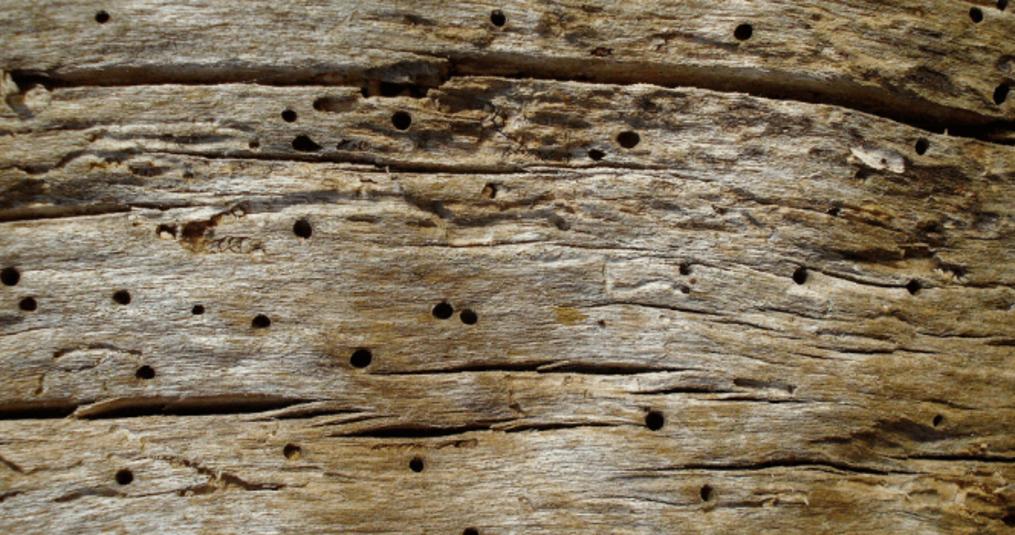 Houtworm: Hoe kan je het herkennen en tegengaan?
