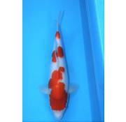 Kohaku Hoshikin Kohaku4 40cm