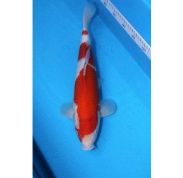 Kohaku Torazo 43cm 2