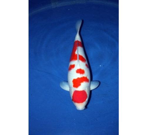 Kohaku Hasegawe 60 cm Gereserveerd