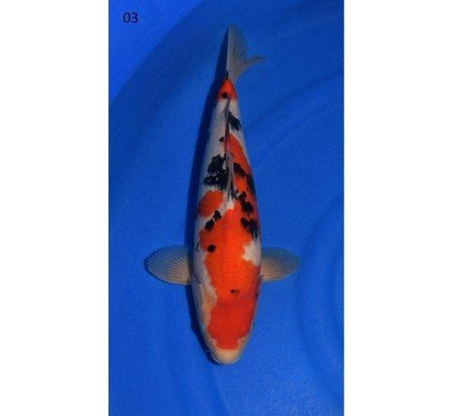 Sanke Sanke Sakai Fish Farm Tosai nr03 | Japanse Koi