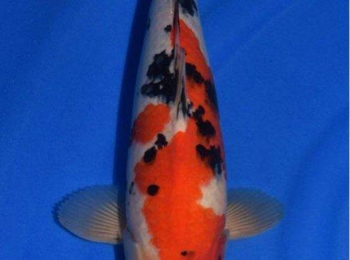 Sanke Sanke Sakai Fish Farm Tosai nr03